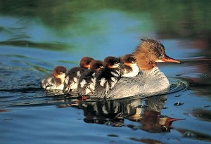 nature's healing gifts-duck boat