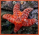 Animal Spirit Guide - Starfish