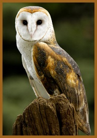 Animal Spirit Guide Barn Owl