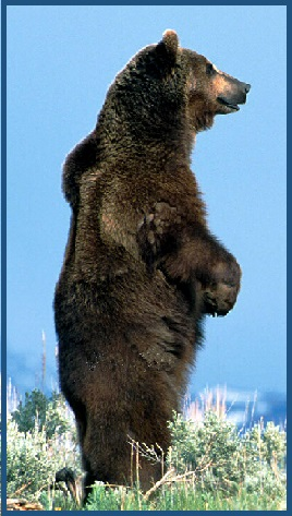 Spirit Animal Guide Grizzly Bear
