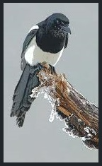 animal spirit guide - magpie