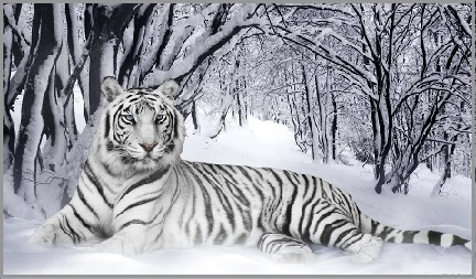Animal Spirit Guide - White Tiger