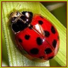 Animal Spirit - Ladybug