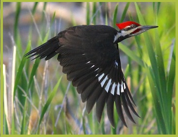 'Sidewalk Tarot'-3 Pileated Woodpeckers