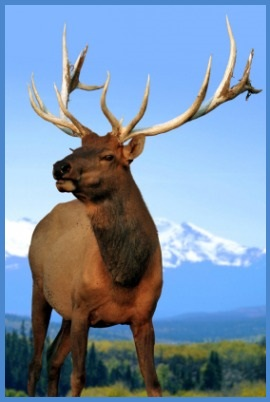 Elk Animal Spirit Guide