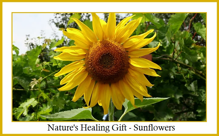 Nature's Healing Gift - Sunflowers