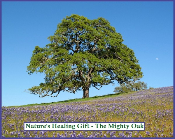 Nature's Healing Gift - The Oak Tree